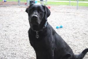 Classy Canines -Black Dog