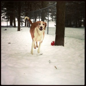 running dog in snow - Classy Canines